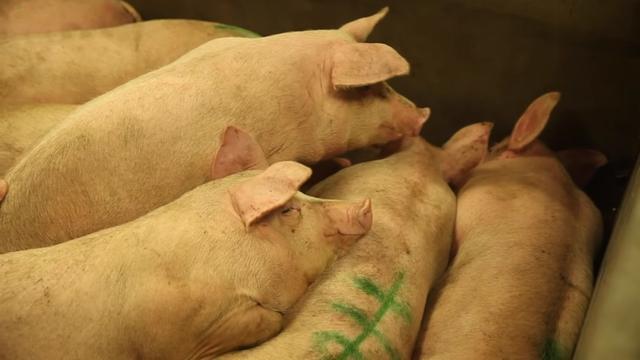 最新,印尼逾27000头生猪死亡后,中国宣布禁止从该国进口猪肉