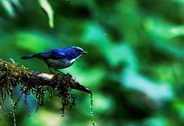 每天带你了解一种鸟--蓝眉林鸲