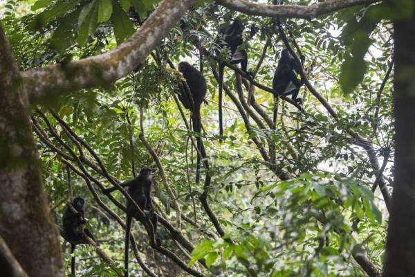 觅食的印尼叶猴