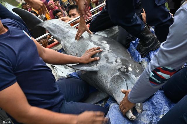 画面暖心!印尼民众营救迷路海豚送回大海