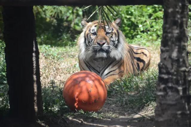 印尼动物园两只濒危苏门答腊虎逃跑,造成一人一虎死亡